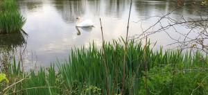 swan-new
